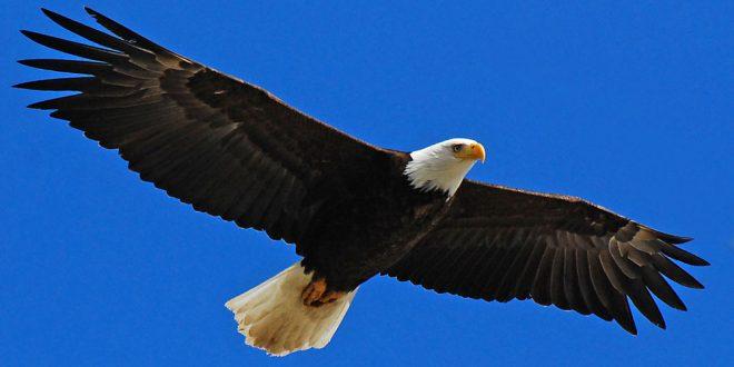 eagle-picture